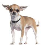 Chihuahua, 3 years old, standing Royalty Free Stock Image