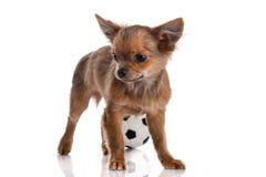 Chihuahua Fotografia Royalty Free