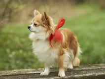 Chihuahua Fotografia Stock