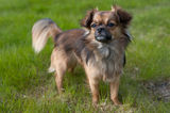 Chihuahua Arkivfoto