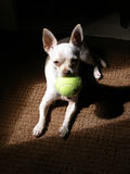 Chihuahua. Young chihuahua with tennis ball stock image