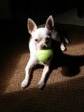 chihuahua Fotografering för Bildbyråer