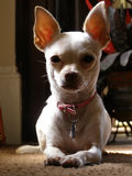 Chihuahua. Young chihuahua resting in the sun stock photography