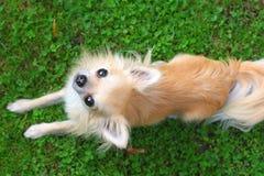 Chihuahua Arkivfoton