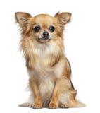 Chihuahua 4 gammala som år sitter Arkivbilder
