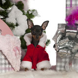 Chihuahua, 4 months old, with Christmas tree Royalty Free Stock Photography
