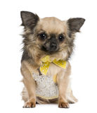 Chihuahua, 4 years old, dressed in yellow bow Stock Photos