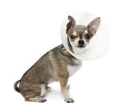 Chihuahua, 4 years old, wearing a space collar Royalty Free Stock Photos