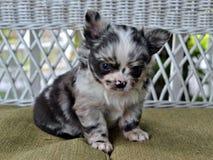 Chihuahua 22 Zdjęcia Stock