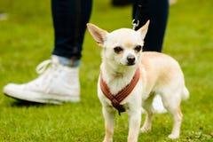 Chihuahua Fotografia Stock Libera da Diritti