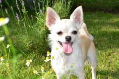 Chihuahua Στοκ Εικόνα