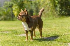Chihuahua Imagenes de archivo