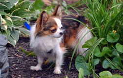 Chihuahua 21 Fotografia de Stock