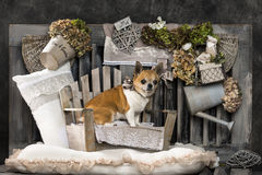 Chihuahua Royalty-vrije Stock Afbeelding
