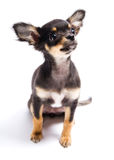 Chihuahua Royalty Free Stock Image