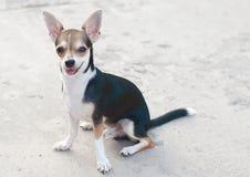 Chihuahua Stock Afbeeldingen