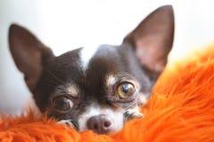 Chihuahua Immagini Stock Libere da Diritti