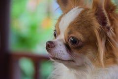 Chihuahua Fotos de archivo