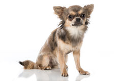 Chihuahua immagini stock