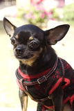 Chihuahua Immagine Stock Libera da Diritti