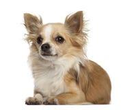 Chihuahua 5 gammala som år ligger Royaltyfri Fotografi