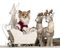 Chihuahua, 5 years old, in Christmas sleigh Royalty Free Stock Photography
