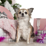Chihuahua, 5 years old, with Christmas tree Stock Photography