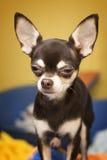 Chihuahua Foto de archivo libre de regalías