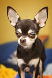 Chihuahua Zdjęcie Royalty Free