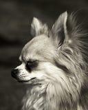 chihuahua Stockfoto