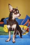 Chihuahua Obraz Royalty Free