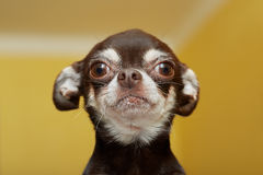 Chihuahua Imagens de Stock Royalty Free