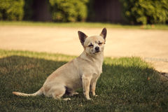 Free Chihuahua Royalty Free Stock Photo - 56702795