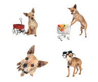 chihuahua Obrazy Royalty Free