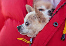 Chihuahua Imagem de Stock