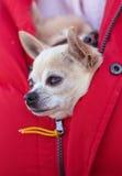 Chihuahua Imagen de archivo libre de regalías