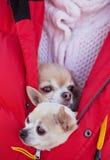 Chihuahua Foto de Stock