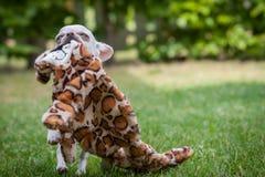 chihuahua Lizenzfreie Stockbilder