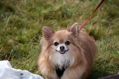 Chihuahua. Cute long-haired Chihuahua dog going for a walk in the countryside Royalty Free Stock Photos