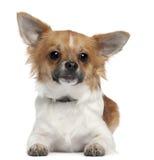 Chihuahua 7 gammala som månader framme ligger av white Arkivfoto