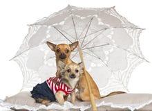 Chihuahua, 7 Monate alte und 9 Monate alte Lizenzfreie Stockfotografie