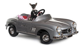 Chihuahua, 7 months old, driving convertible Stock Photography