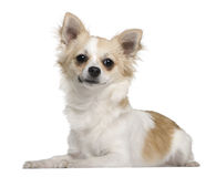 Chihuahua, 7 months old, lying Royalty Free Stock Images