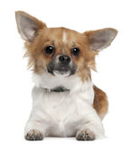Chihuahua, 7 months old, lying in front of white Stock Photo