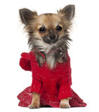 Chihuahua, 7 months old, sitting Royalty Free Stock Photos