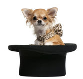 Chihuahua, 7 months old, sitting in top hat Royalty Free Stock Images