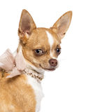 Chihuahua, 7 months old, wearing lace collar Stock Photography