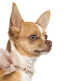 Chihuahua, 7 months old, wearing lace collar Stock Photos