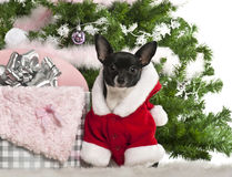 Chihuahua, 7 months old, wearing Santa outfit. With Christmas gifts in front of white background Stock Images