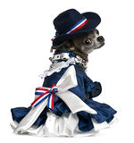 Chihuahua, 7 years old, dressed up and sitting Royalty Free Stock Photo